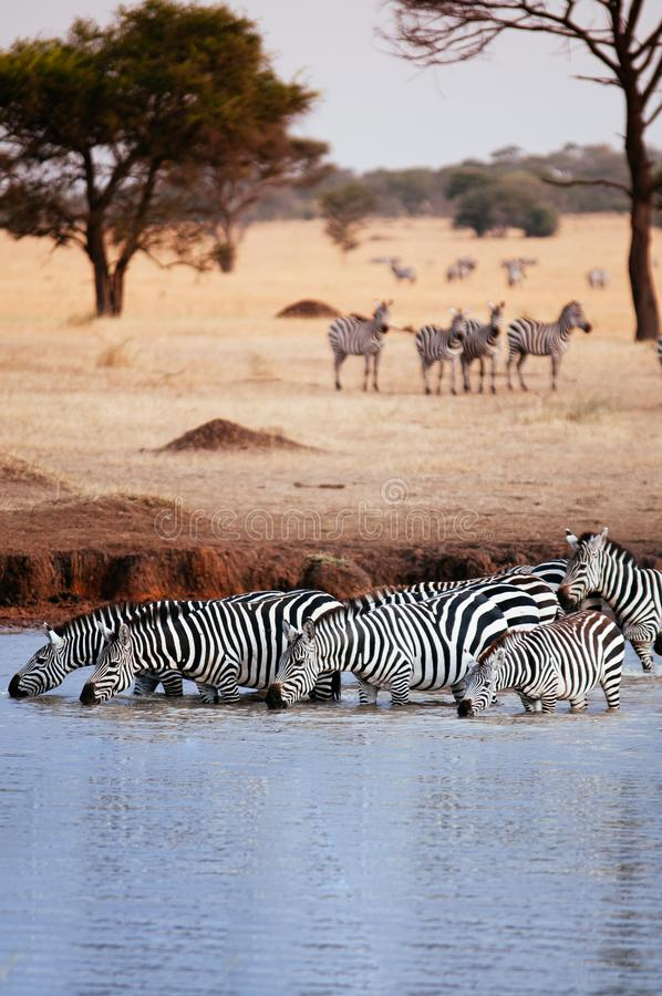 Herd of African zebra drink water from river in grass meadow of Serengeti Savanna - African Tanzania Safari trip. Herd of African zebra drink water from river in royalty free stock photos