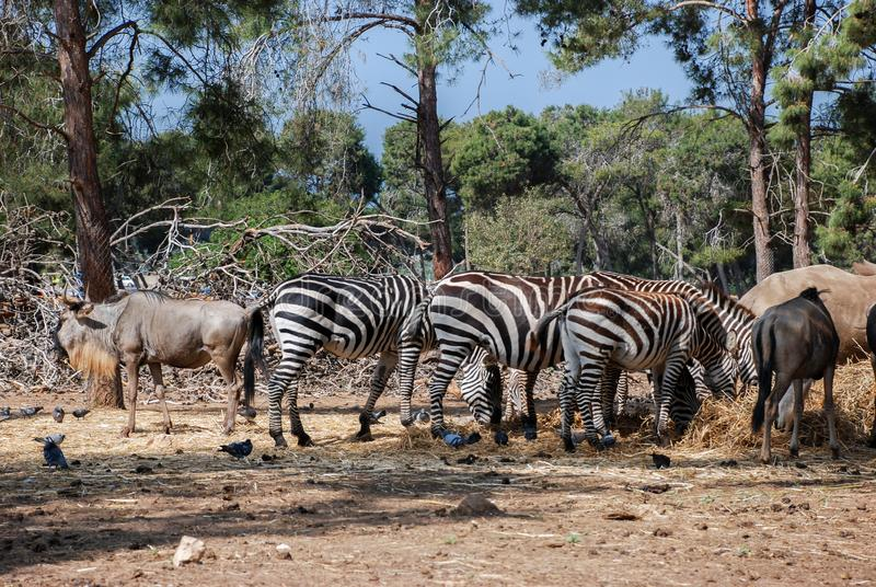 A herd of african zebras and antelopes graze royalty free stock photography