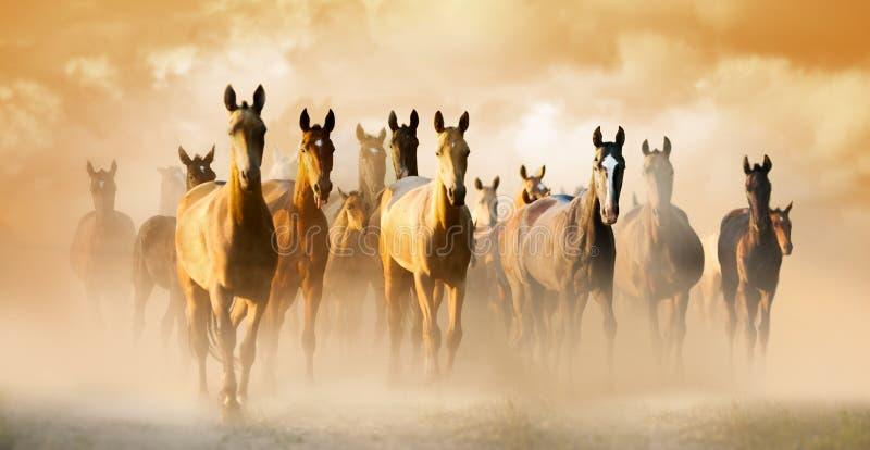 Herd of akhal-teke horses in dust running to pasture stock photo