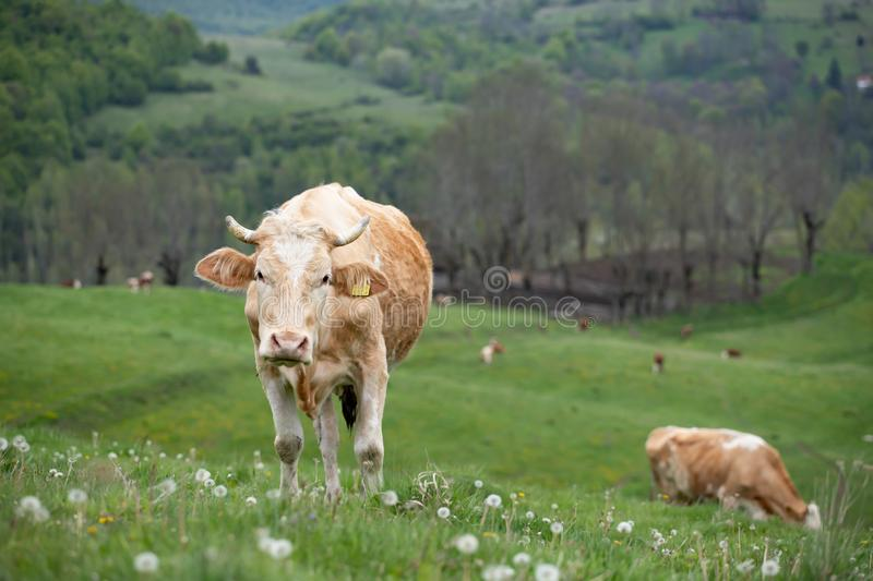 Herd of alpine cows grazing on the green pasture royalty free stock photos