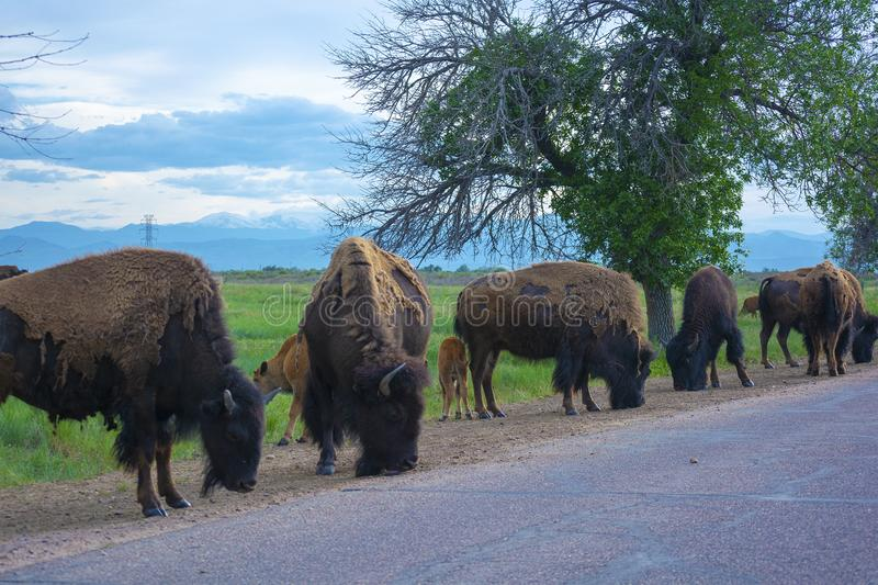 Herd of American Bison Buffalo by a road during the day royalty free stock image
