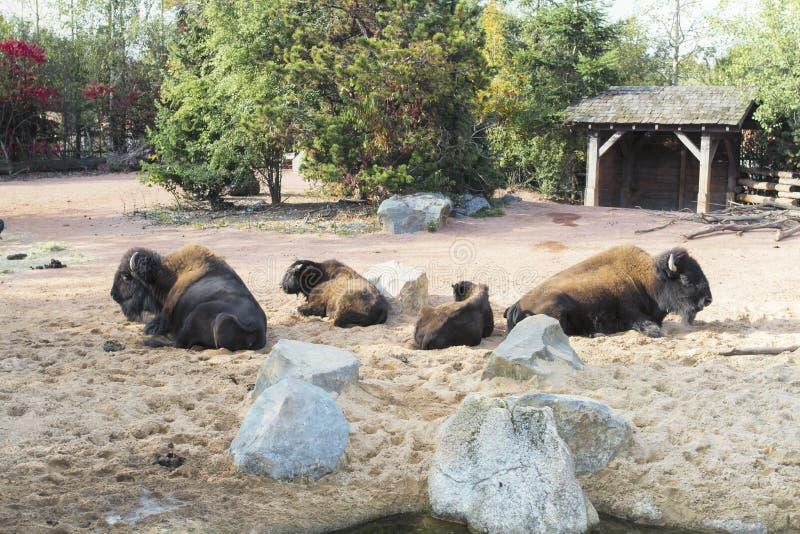 Herd of American Bison stock photos
