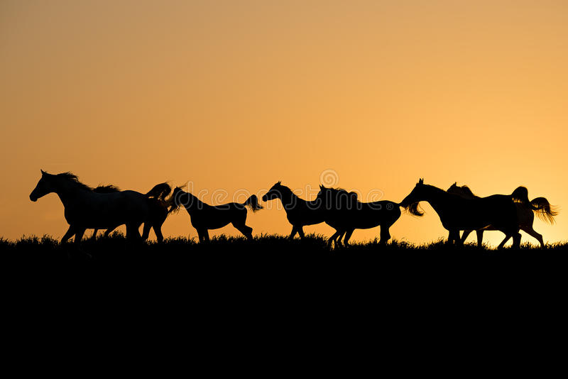 Herd of arabian horses at the sunset. In silhouette