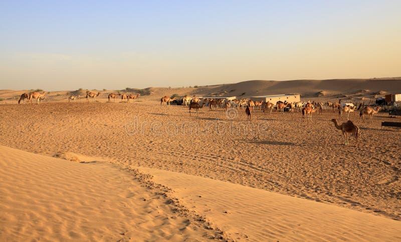 Herd of Arabian camel royalty free stock images