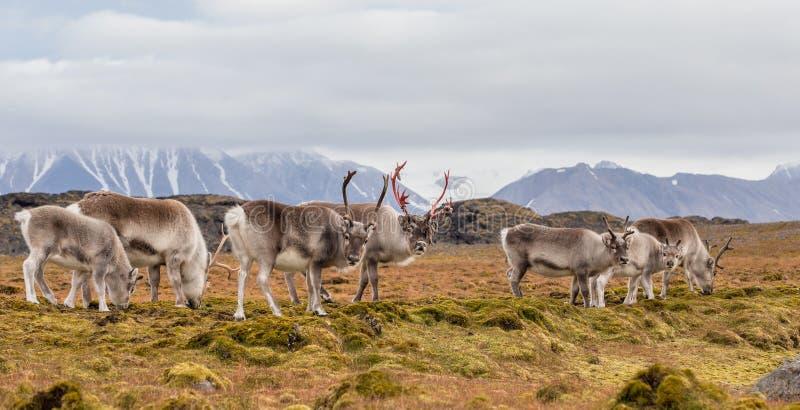 Herd of Arctic reindeer royalty free stock photography