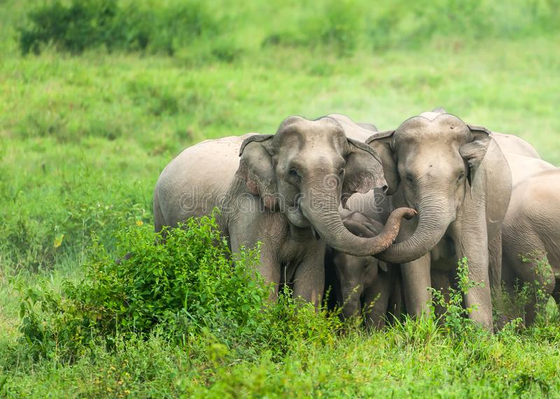 A herd of Asian Elephants are protectively a newborn elephant calf in the fields of Kui Buri National Park, Thailand stock image