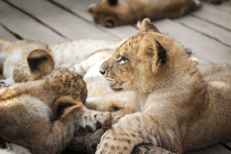 Herd Baby Lions stock photo