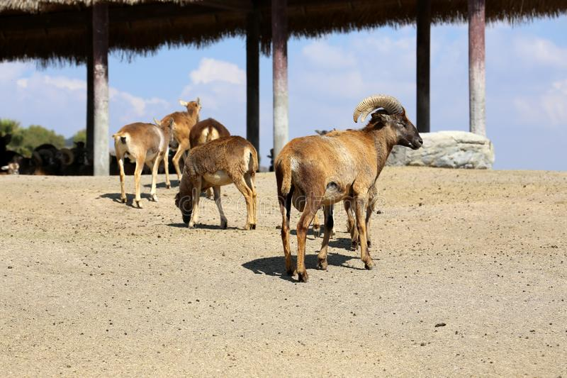 A herd of Barbary Sheep in safari park royalty free stock photography