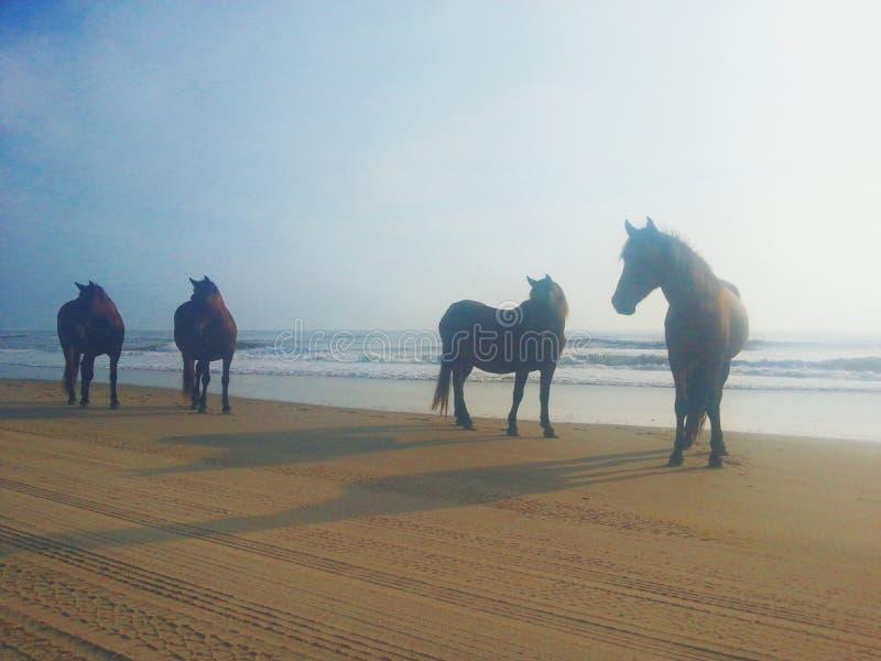 Herd of Bay Mustangs. Carova Beach North Carolina Wild Mustangs stock photography