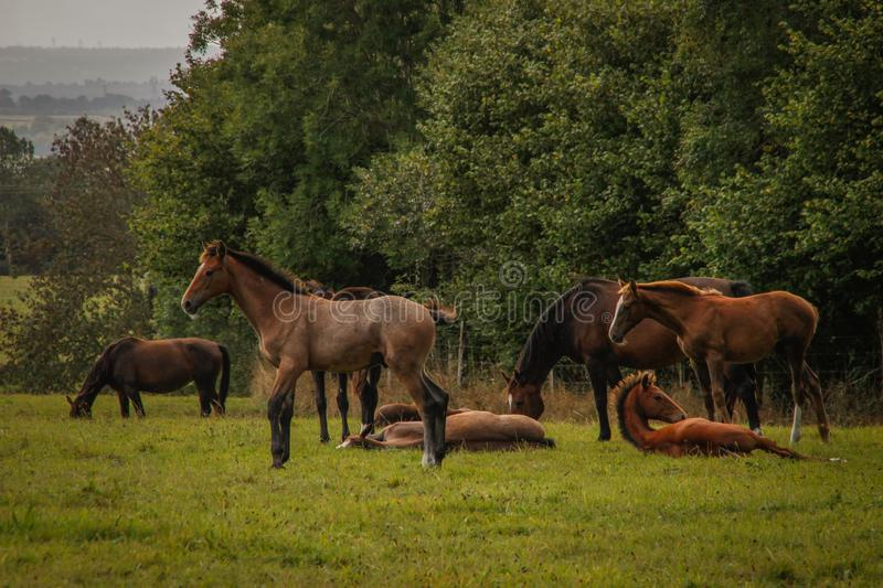 A herd of beautiful slender brown horses with black tails grazes on green grass royalty free stock photography