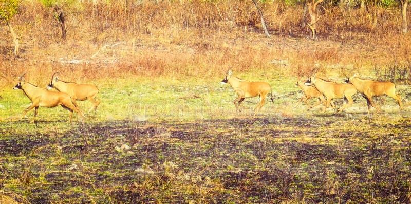 Herd of beautiful very secretive Roan antelope stock photos