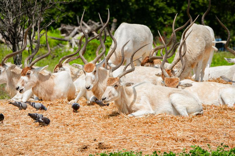 A herd of beautiful white antelopes addax resting in the meadow and eating grass stock images