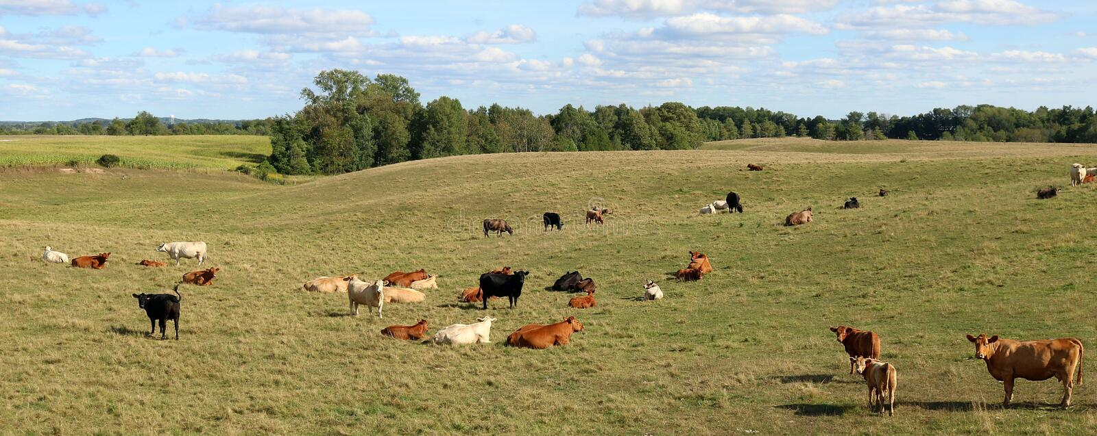 Angus or Limousine Cows and calves in the meadow. Herd of beef cows and calves in the field with mom and two calves in foreground on a beautiful sunny day royalty free stock photo