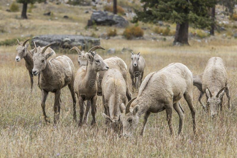 Herd of bighorn sheep near Thompson Falls, Montana stock images