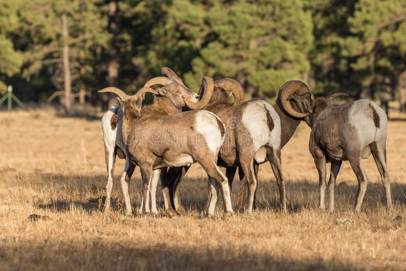 Herd of Bighorn Sheep Rams Rutting stock images
