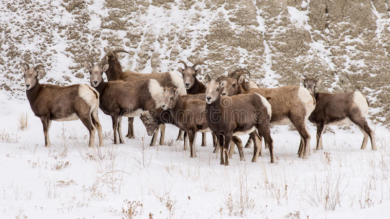 Herd of Bighorn Sheep in Winter in Badlands National Park stock photography