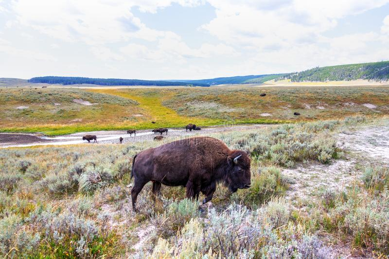 Herd of bison buffalo grazing at Yellowstone National Park stock image