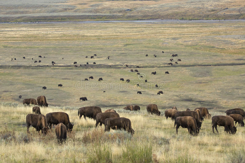 Herd of bison grazing in Lamar Valley, Yellowstone Park, Wyoming royalty free stock images