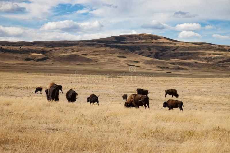 Herd of Bison in Southern Alberta Under Blue Sky. Herd of Buffalo in Southern Alberta Canada Under Blue Sky royalty free stock photo