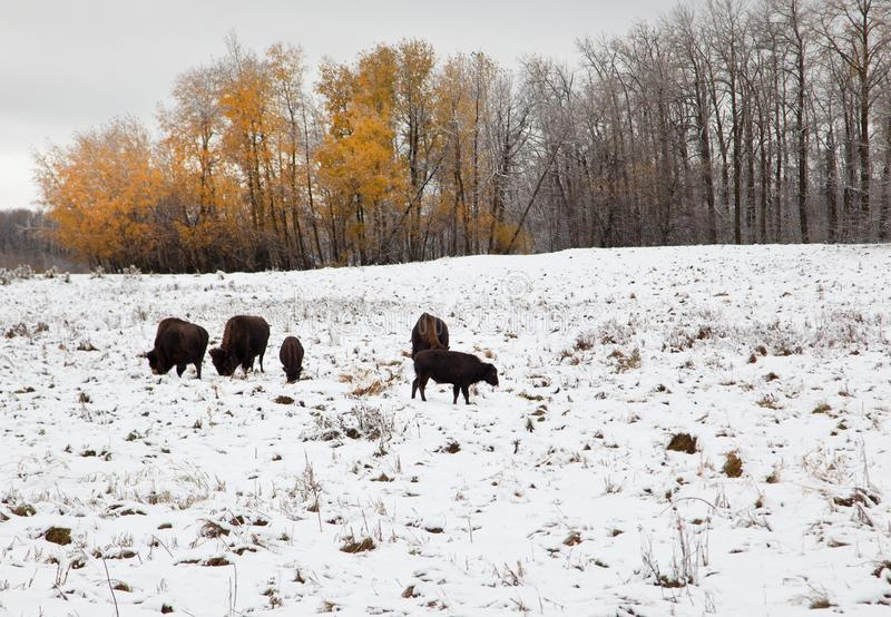 Herd of bison in winter. A gang of brown bison munching on grass outside in the snow, with autumn orange trees and a winter landscape at Elk Island Park in royalty free stock photos