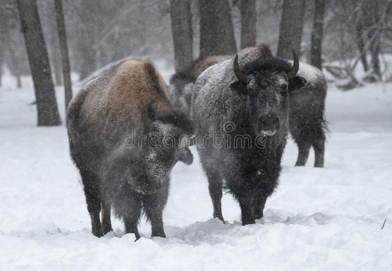 Herd of bison in the winter royalty free stock photos