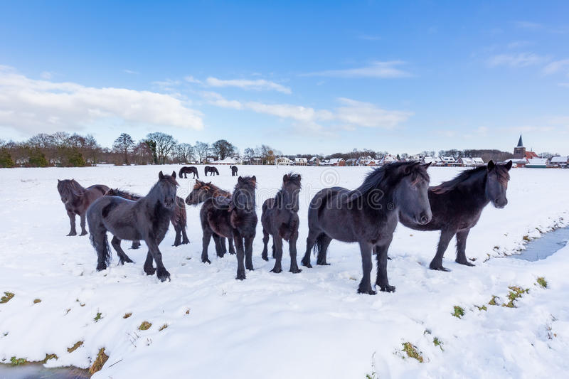 Herd of black frisian horses in winter snow. Herd of black frieze horses in snow during winter season stock photo