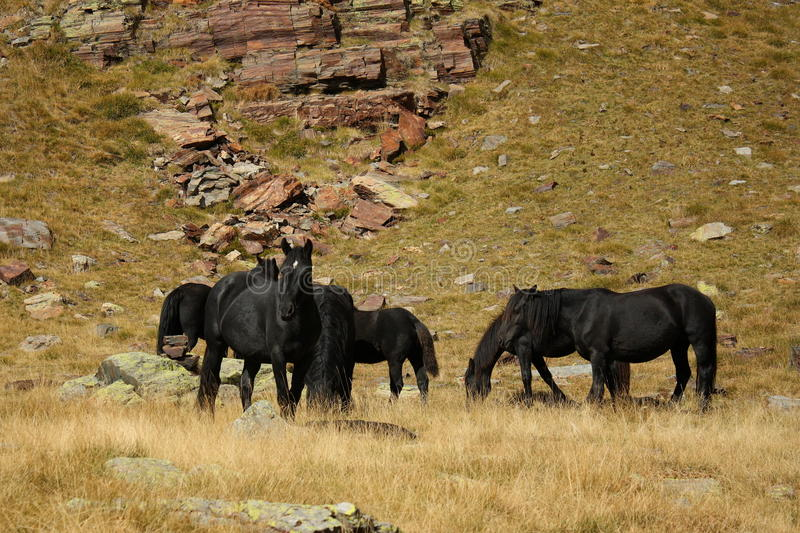 Herd of black horses royalty free stock images