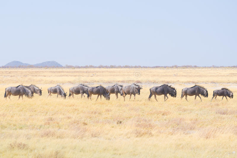 Herd of Blue Wildebeest grazing in the bush. Wildlife Safari in the Etosha National Park, famous travel destination in Namibia, Af stock image