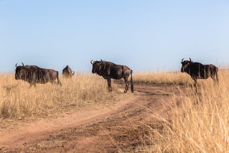 Herd Blue Wildebeest Road Grasslands Wildlife Animals royalty free stock photography
