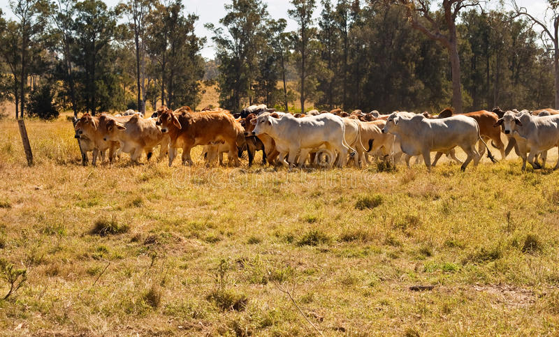 Herd of Brahman beef cattle moving across paddock. Rural Australia cattle country with herd of red and grey Brahman beef cows moving across dusty paddock royalty free stock photo