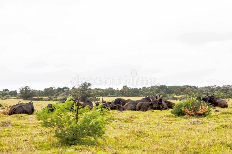Herd Of Buffalo Lying Down In Kragga Kamma Game Reserve South Af royalty free stock image