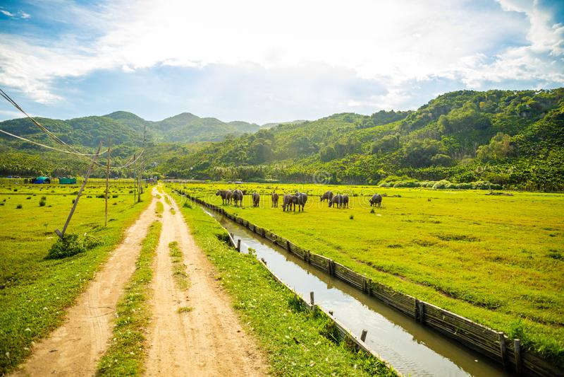 Herd of buffalo, original ecological stocking animals on Hainan, China royalty free stock images