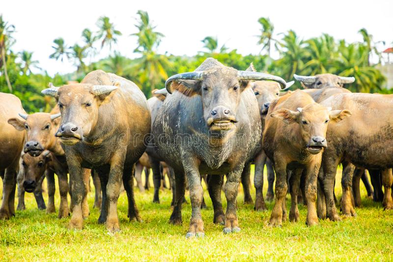 Herd of buffalo, original ecological stocking animals on Hainan, China royalty free stock photo