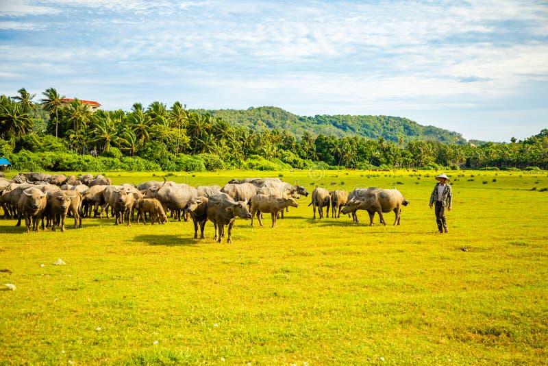 Herd of buffalo, original ecological stocking animals on Hainan, China royalty free stock photography