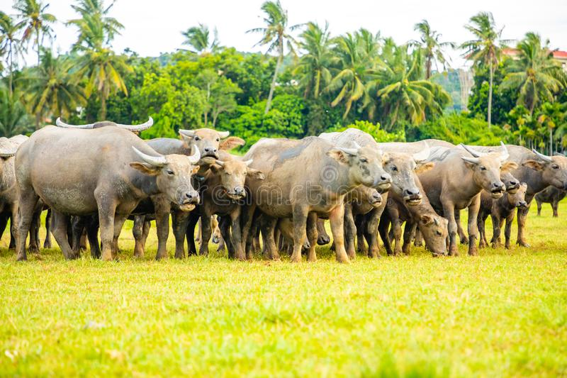 Herd of buffalo, original ecological stocking animals on Hainan, China stock photography