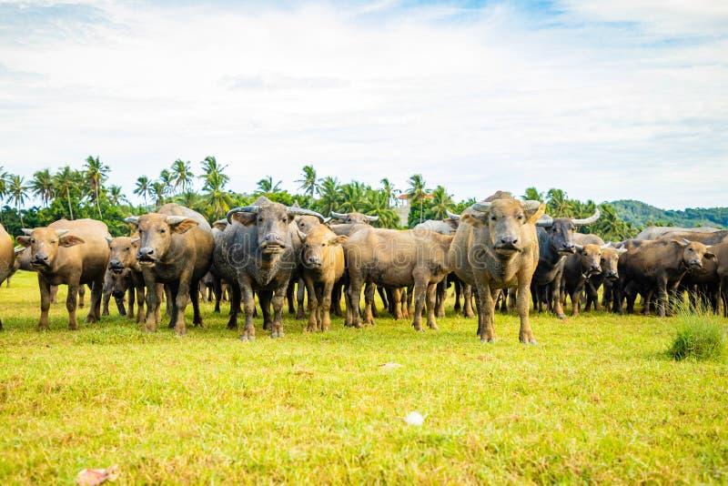 Herd of buffalo, original ecological stocking animals on Hainan, China stock photo
