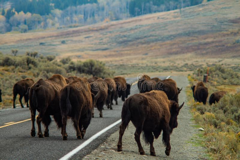 Buffalo Herd Crossing Road. A herd of buffalo wander across the roadway inside Yellowstone National Park, Wyoming royalty free stock photo