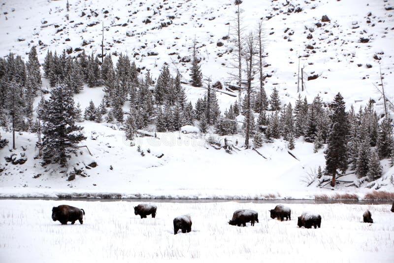 Herd buffalo in Yellowstone stock image