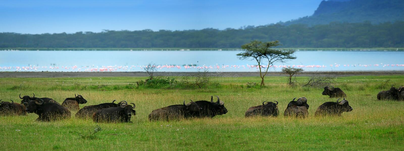 Download Herd of Buffaloes stock image. Image of conservation - 10068405