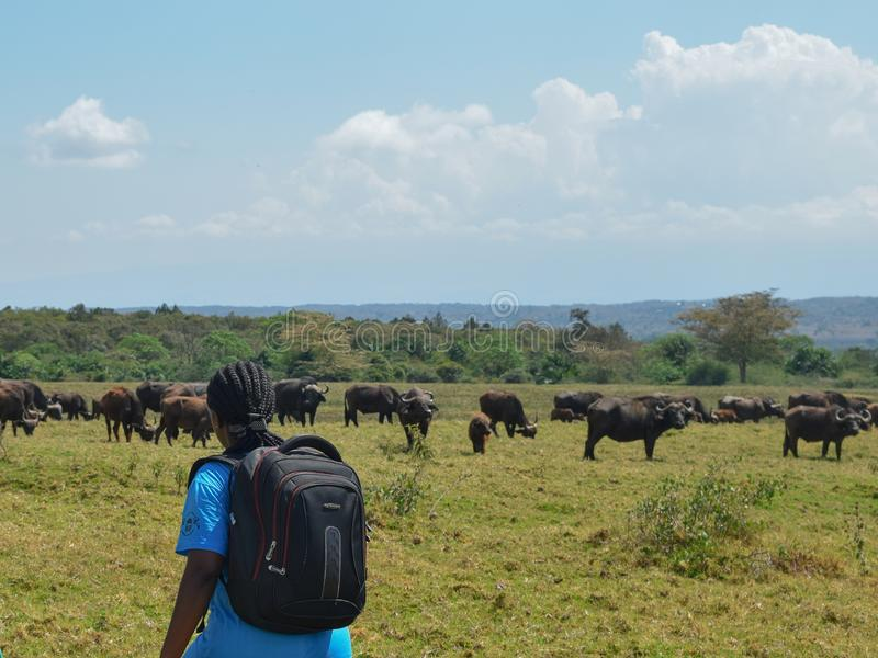 A herd of Buffaloes at Arusha National Park, Tanzania. A hiker against the background of Buffaloes at Arusha National Park, Tanzania stock images
