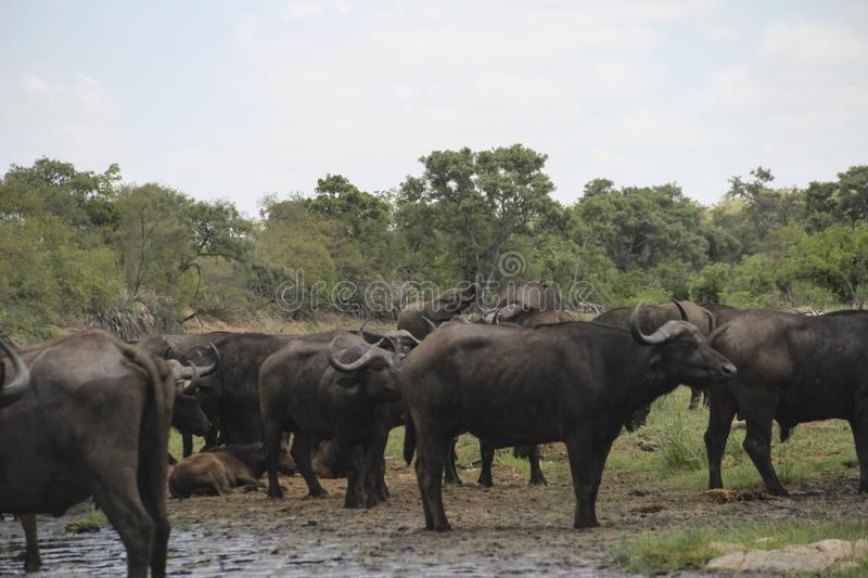 Herd of buffaloes drinking, with elephant and zebra, Kruger NP, South Africa stock photos