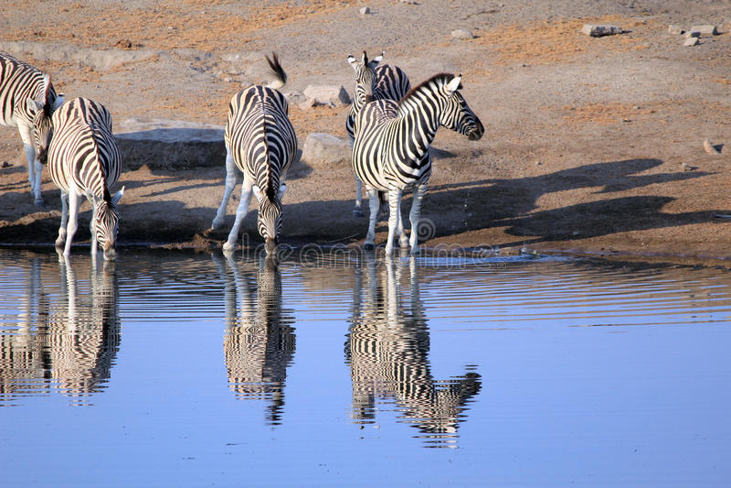 Herd of Burchell´s zebras drinking water in Etosha wildpark. Okaukuejo waterhole. Namibia stock photos
