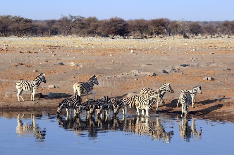Herd of Burchell´s zebras drinking water in Etosha wildpark. Okaukuejo waterhole. Namibia stock photo