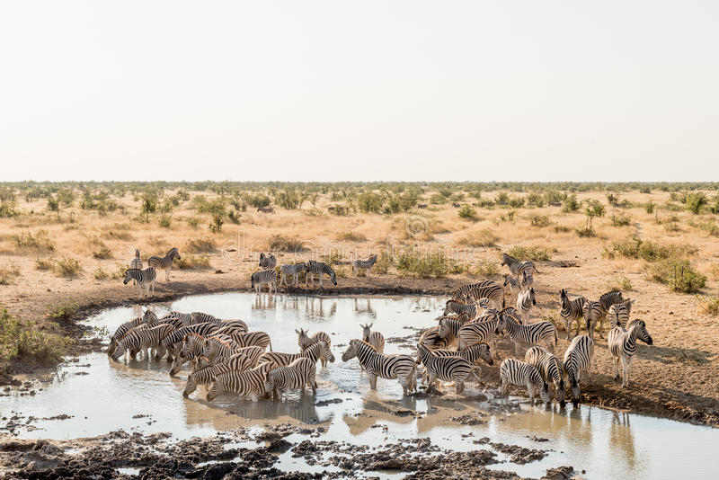 Herd of Burchells zebras drinking water. A herd of Burchells zebras, Equus quagga burchellii, drinking water as seen from the hide at a waterhole in Northern stock photography