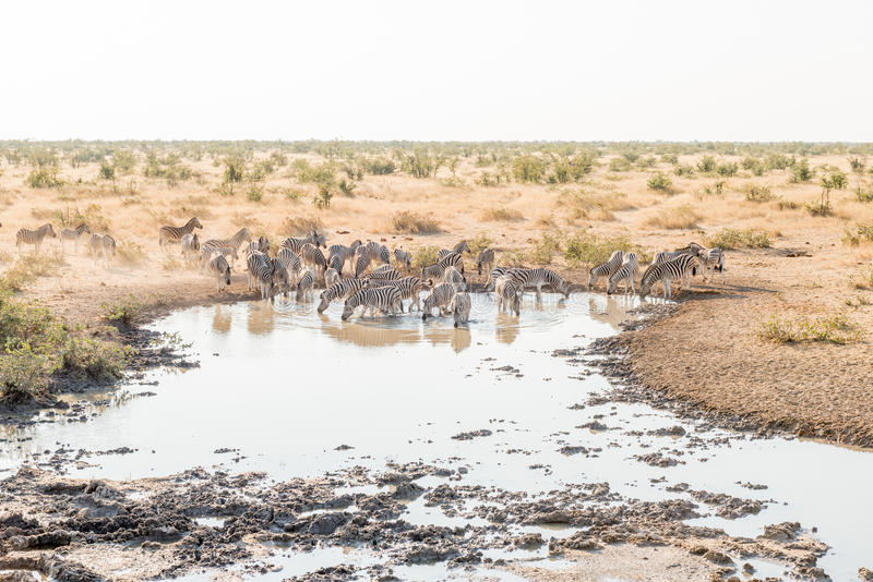 Herd of Burchells zebras drinking water. A herd of Burchells zebras, Equus quagga burchellii, drinking water as seen from the hide at a waterhole in Northern royalty free stock image