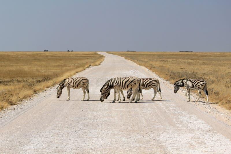 Herd of Burchells zebras in Etosha wildpark royalty free stock photography
