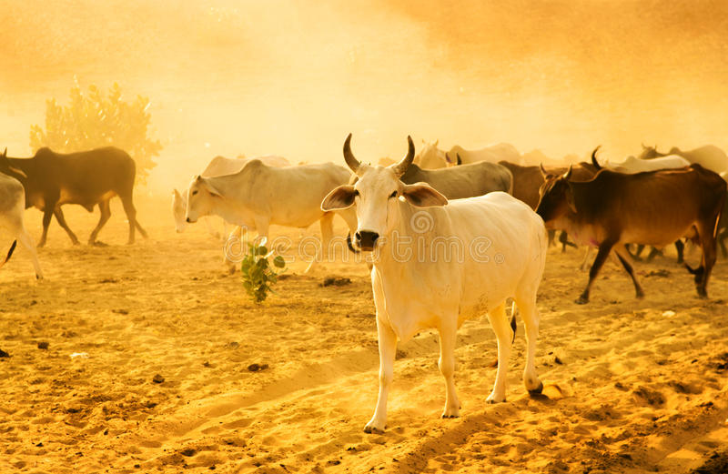 Herd Cattle Royalty Free Stock Photography