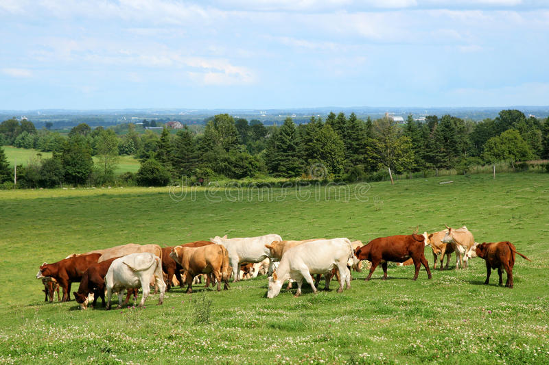 Herd of cattle grazing royalty free stock photo