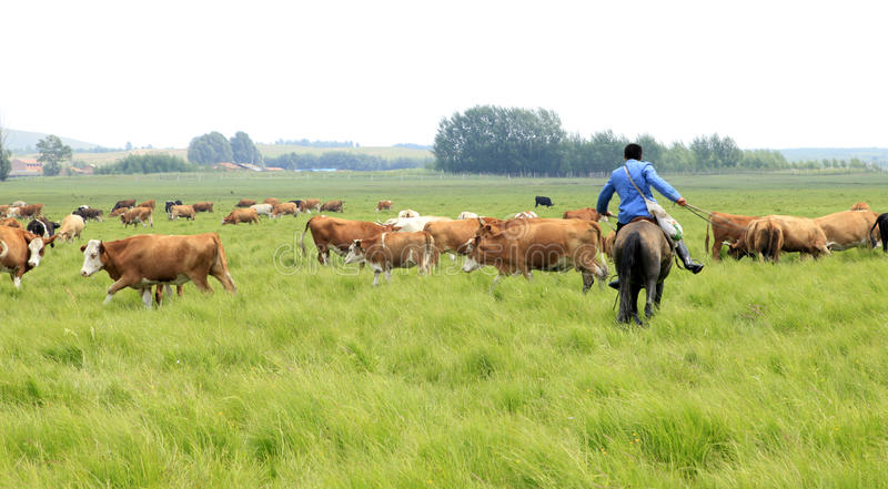A herd of cattle are grazing. In the beautiful prairie,A herd of cattle are grazing,Herdsmen ride horses grazing stock image