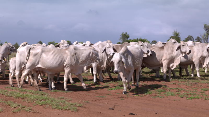 Herd of cattle Grazing on a farm in Outback Australia. A herd of Brahman cattle cows out grazing in a paddock/ field / meadow in outback Australia stock video